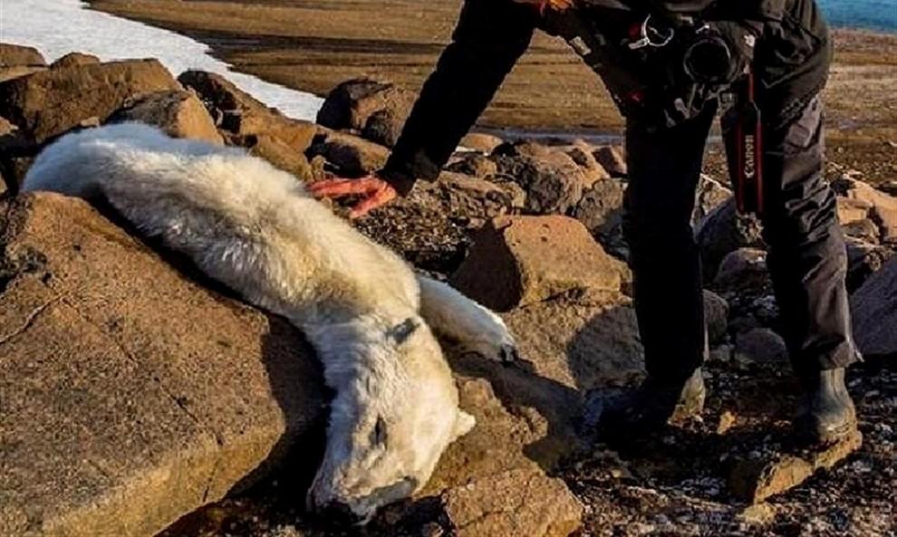 L'ós, desnodrit, es va trobar sense vida