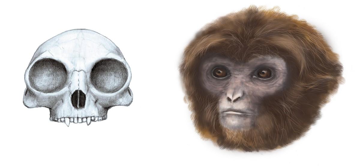 Reconstrucció del crani (vista frontal) del crani i de l'aspecte de Pliobates cataloniae