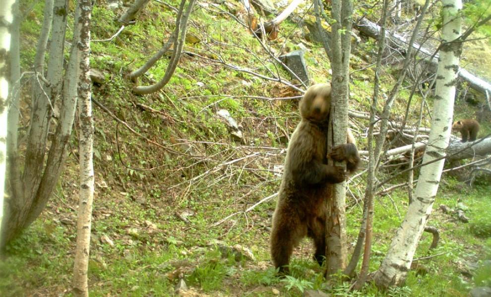Un ós captat a Boavi l'any 2014