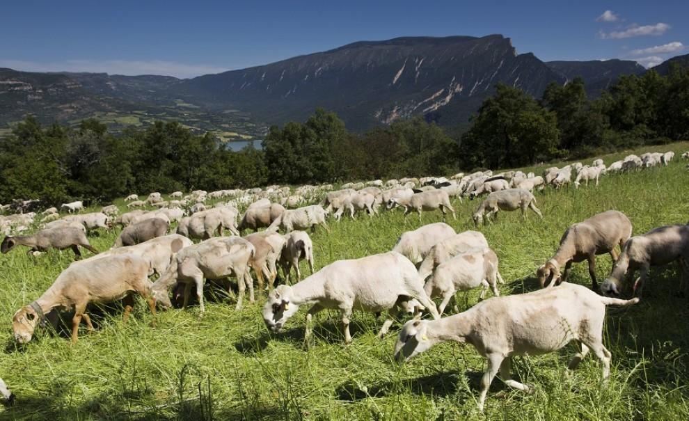 Un ramat d'ovelles en una imatge d'arxiu