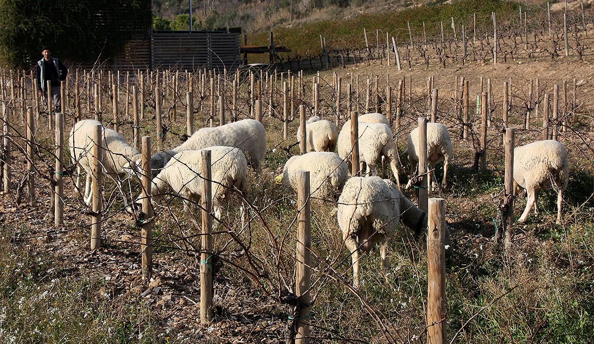 Ovelles pasturant enmig de les vinyes biodinàmiques