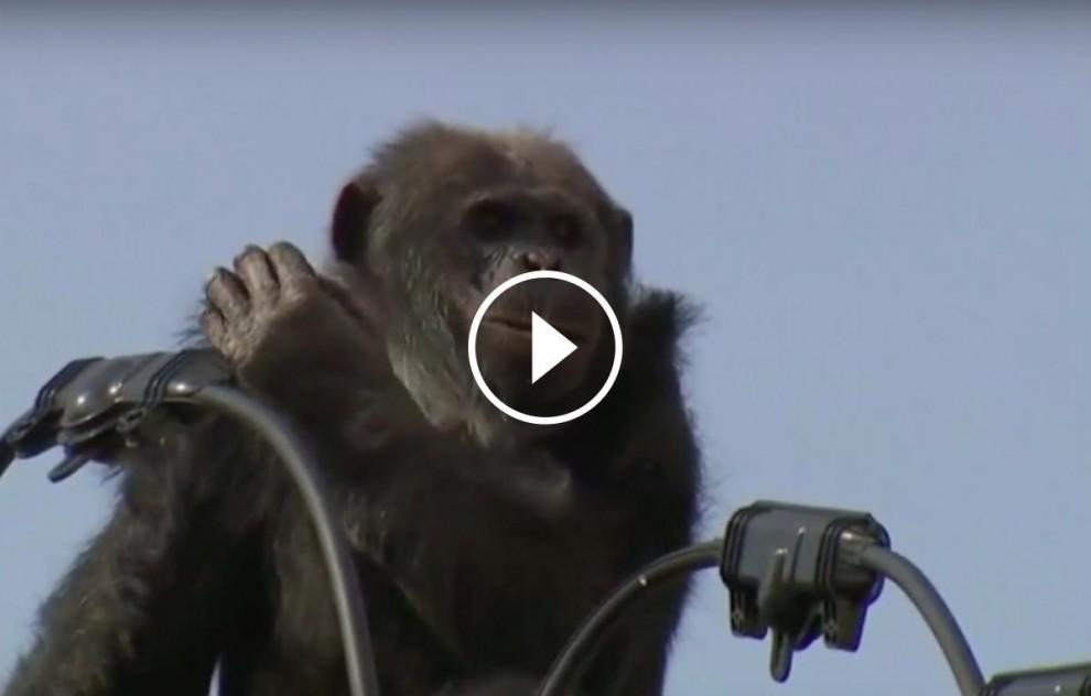 El ximpanzé damunt d'un pal elèctric  al Japó