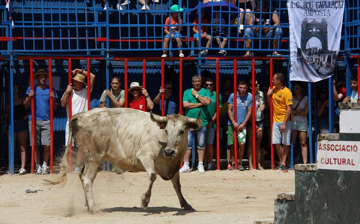 Una vaca en un acte taurí a Sant Jaume d'Enveja, en una imatge d'arxiu.