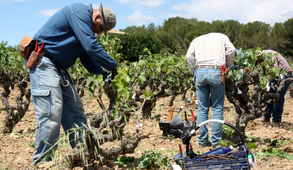Pla sencer de tres agricultors empeltant ceps