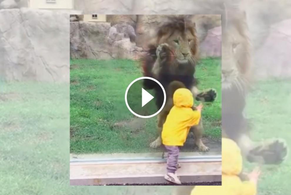 Un lleó xoca contra una protecció de vidre en apropar-se veloçment a un nen petit