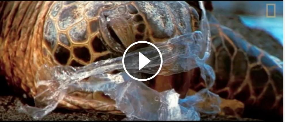 Una tortuga marina enganxada amb un plàstic