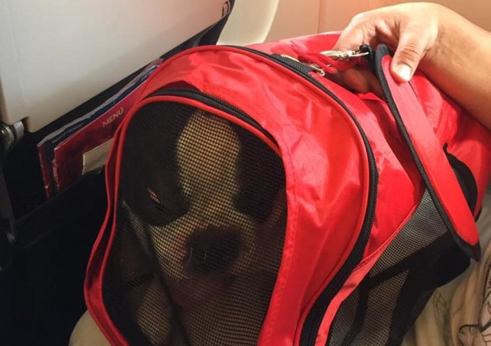 La companyia va obligar a ficar un bulldog francès de 12 quilos en una bossa per a gossos de vuit