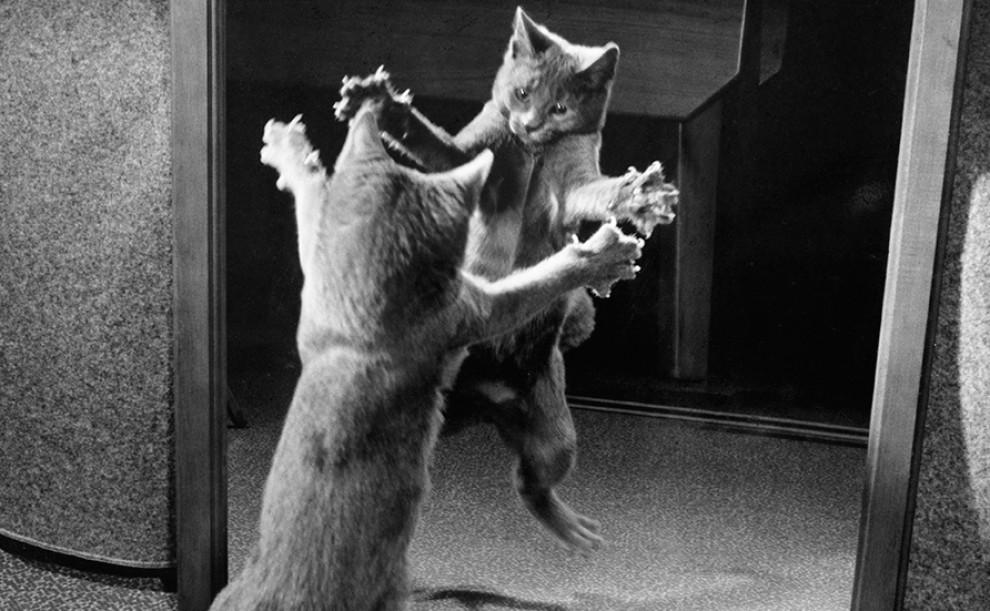 Un gat s'ataca a si mateix davant d'un mirall, 1964