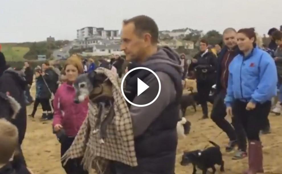Vídeo de l'última passejada del gos llebrer a Porth Beach (Regne Unit)