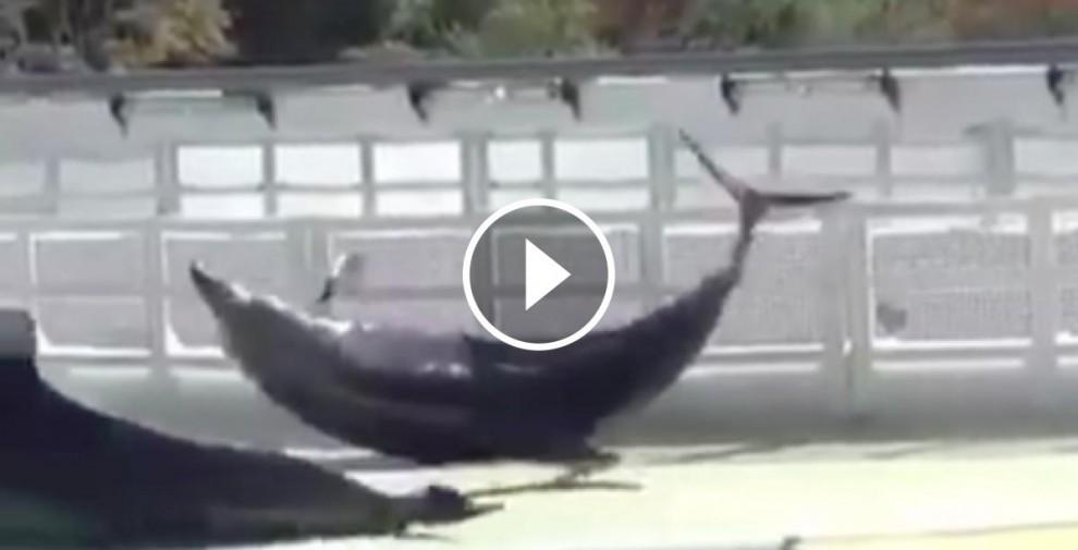Els dofins intenten sortir del recinte