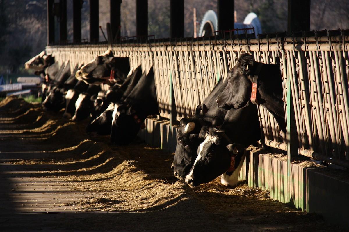 Una desena de vaques, en una explotació