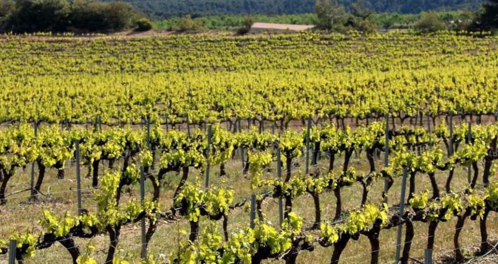 Pla general de la vinya de garnatxa