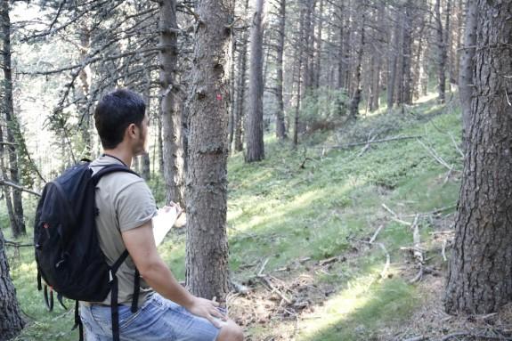 Un dels rematants de fusta observant els arbres marcats en els boscos de Civís (Alt Urgell).