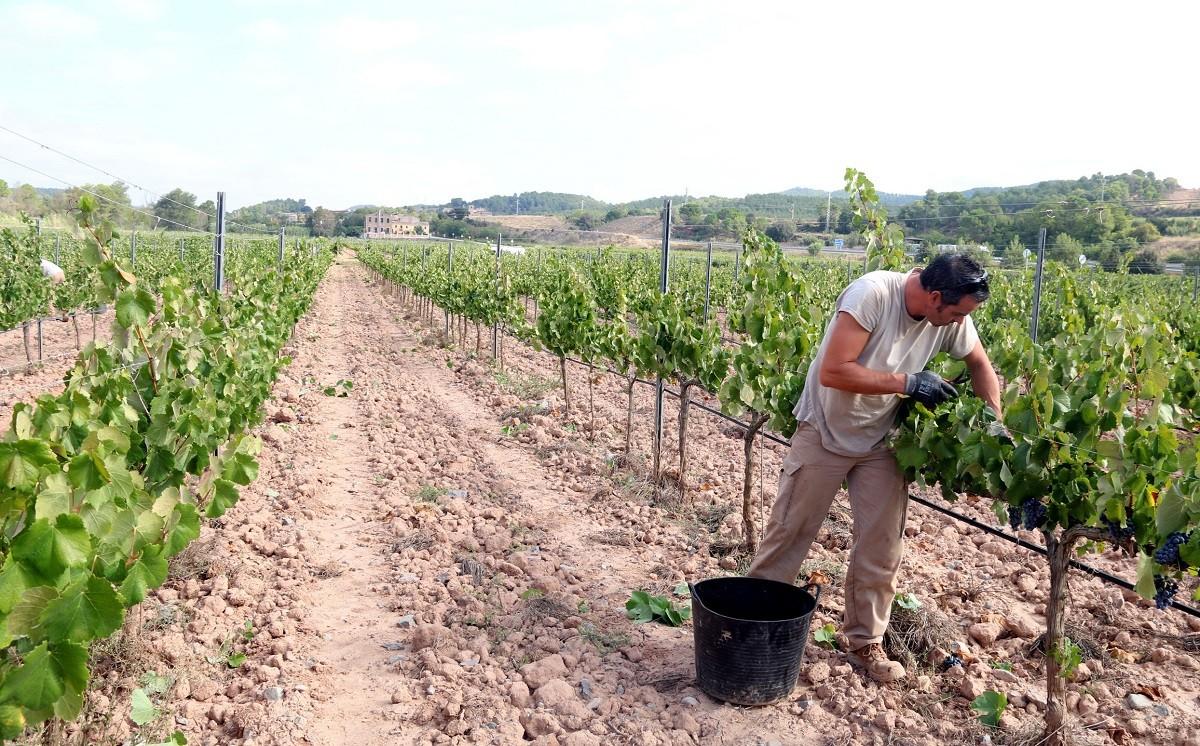 Una vinya d'Abadal, a Horta d'Avinyó, on s'està fent la verema