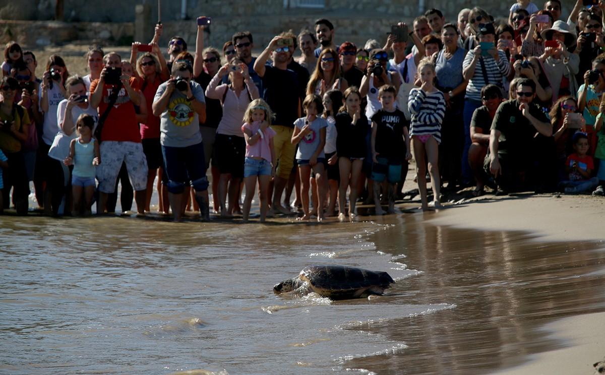La tortuga Marta entrant novament al mar després de recuperar-se al CRAM.