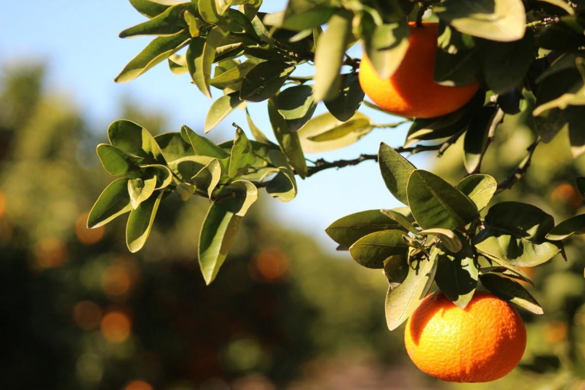 Alcanar és un dels punts de referència a l'Estat en quant al cultiu de cítrics