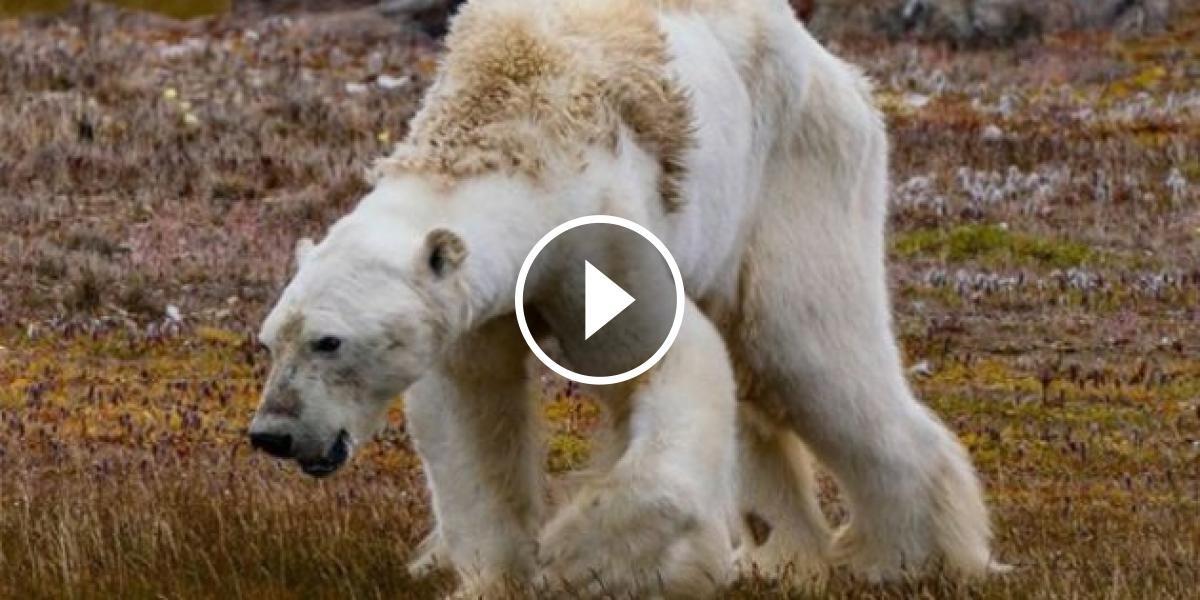 Imatge de l'ós polar