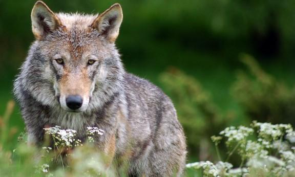 Hobbes i l'home llop