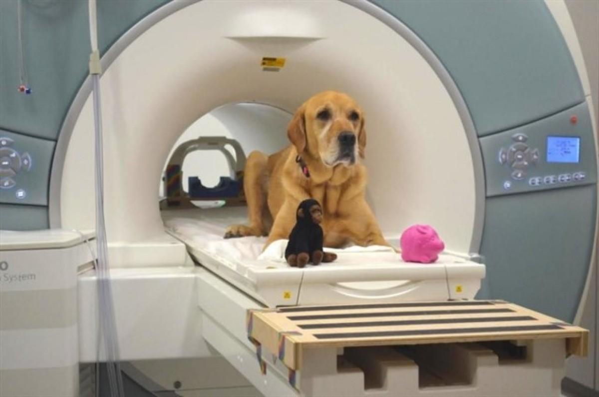 Un gos que va participar en l'experiment de la Universitat d'Emory