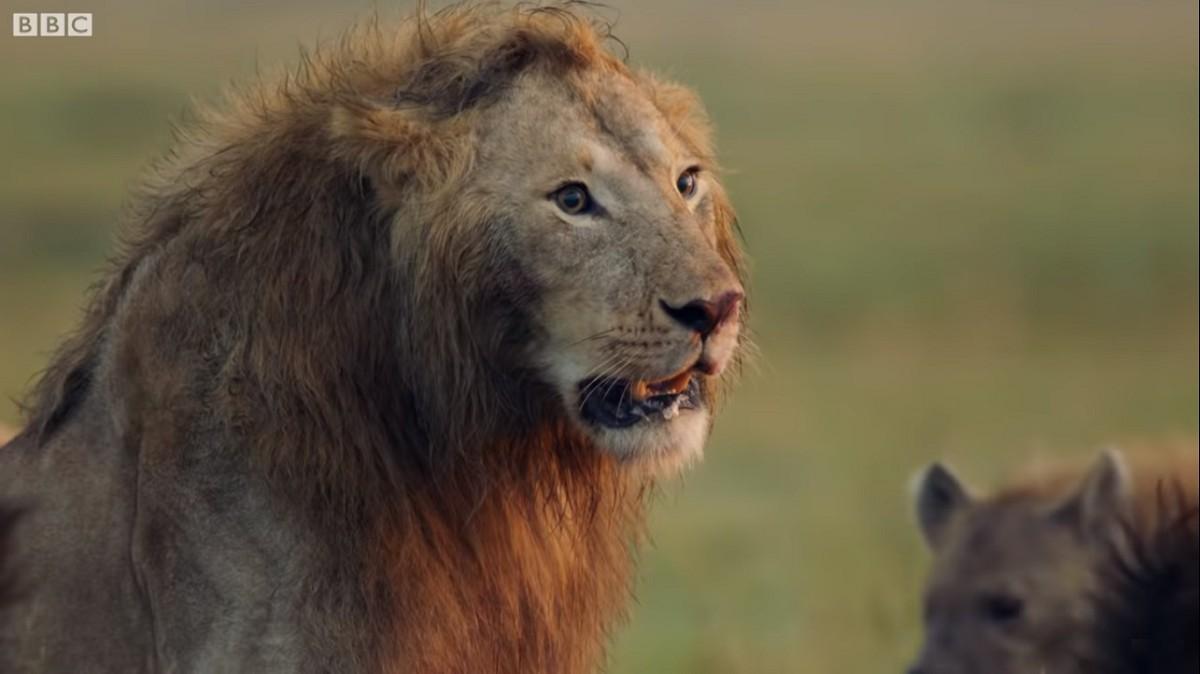 El lleó contra les hienes