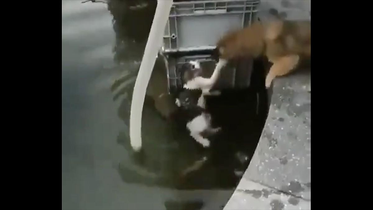 El gos rescatant el gat.