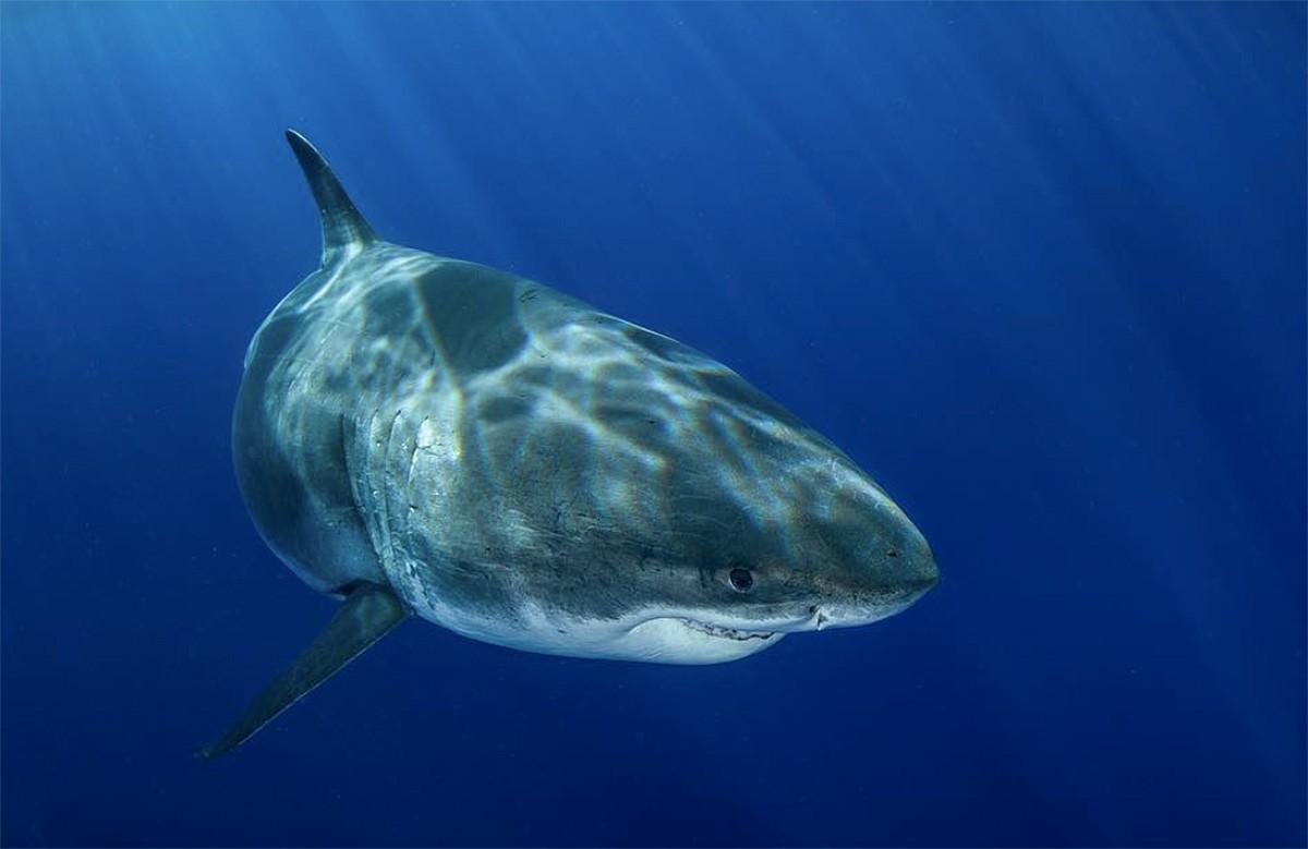 «Deep Blue» és el tauró més gran que s'ha conegut fins ara.