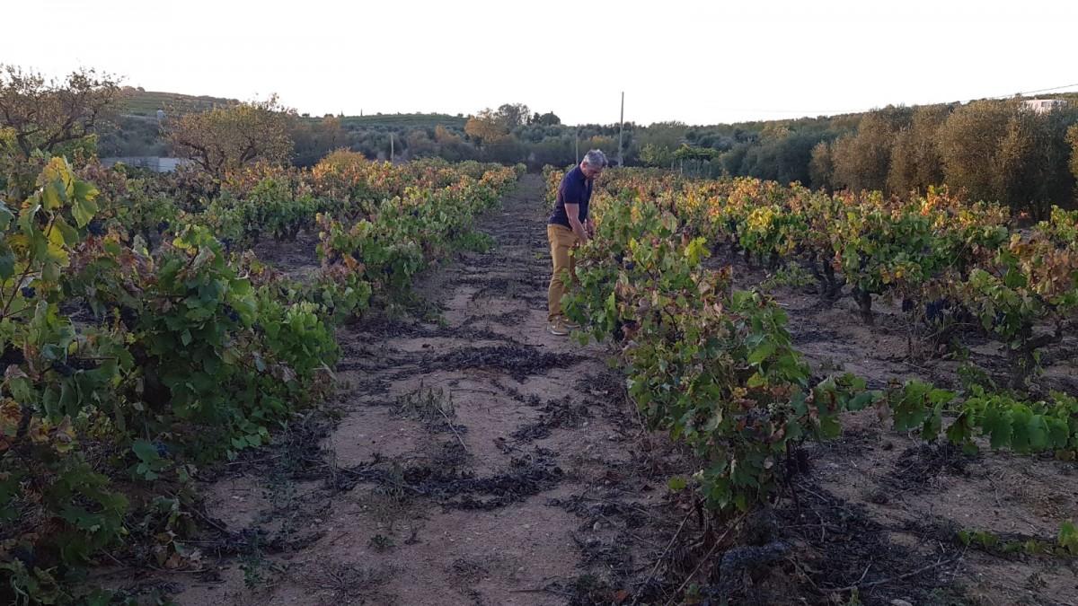 Jordi Rotllan a les vinyes ecològiques de la DO Montsant