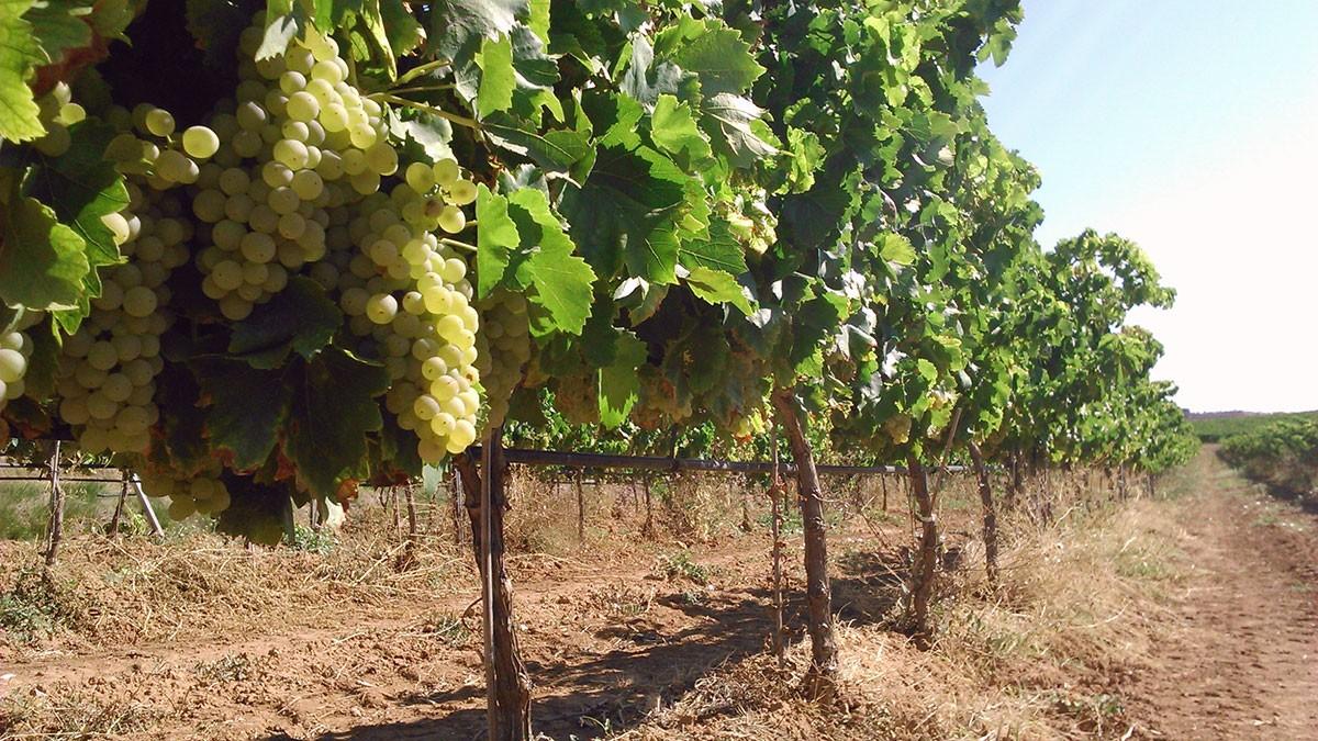 camp de vinyes a la Terra Alta