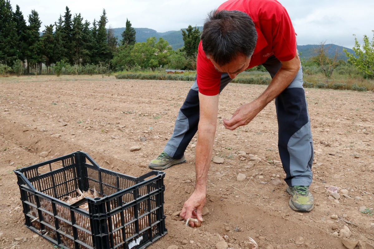 Joan Cartanyà, plantant bulbs de safrà en una finca de Montblanc.