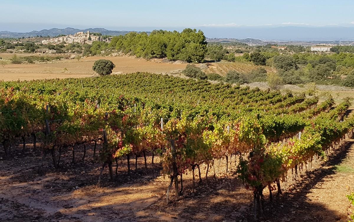 Vinya de Tomàs Cusiné, a El Vilosell