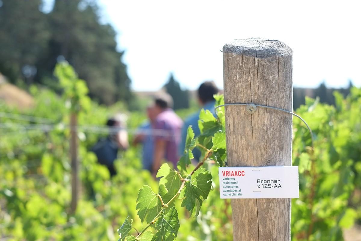 El projecte VRIAACC (Varietat Resistents i Autòctones Adaptades al Canvi Climàtic) busca poder plantar vinya resistent al fong i al canvi climàtic