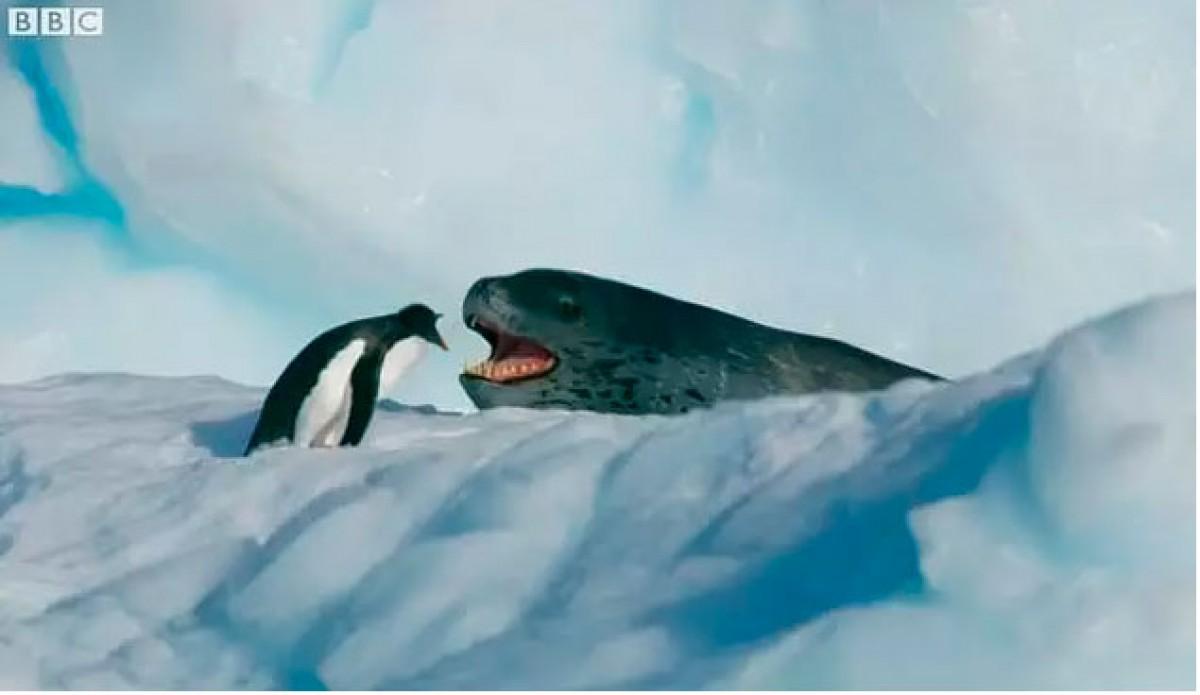 La foca lleopard intenta menjar-se el pingüí