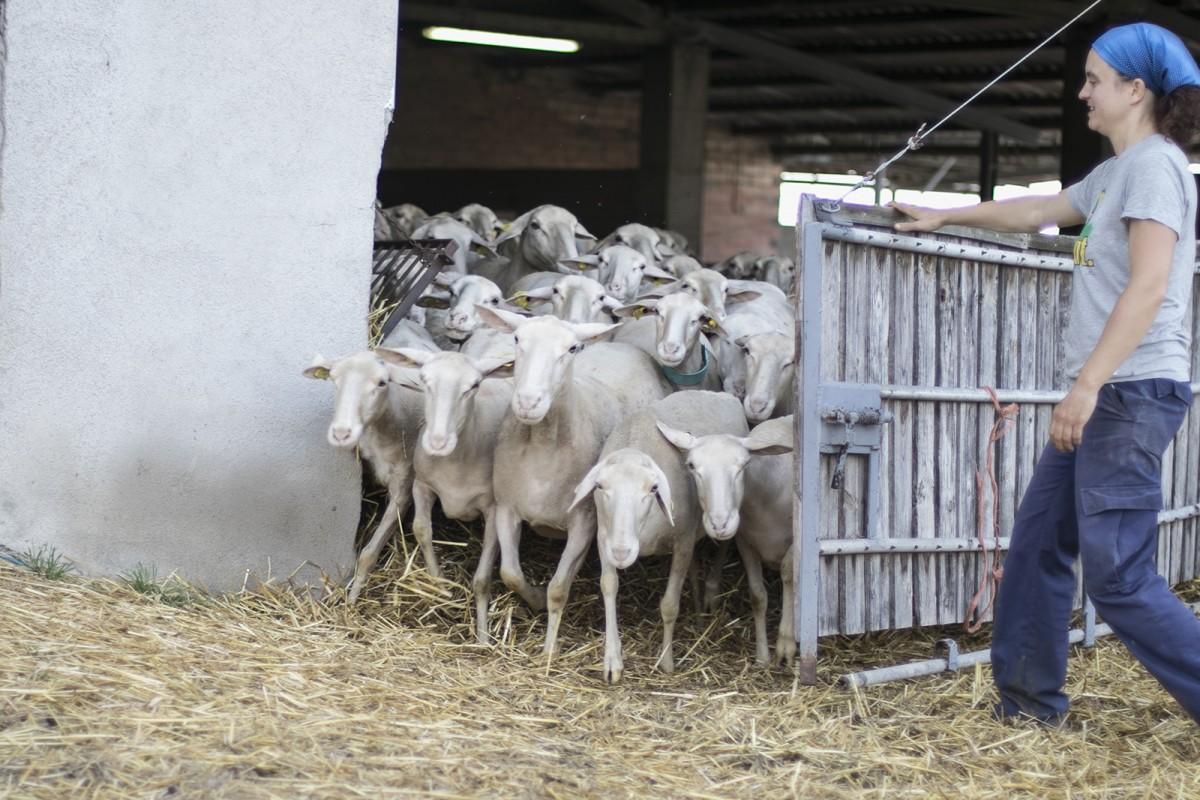El ramat del Serradet de Barneres, projecte agroecològic de Sant Martí de Sescorts, sortint del corral