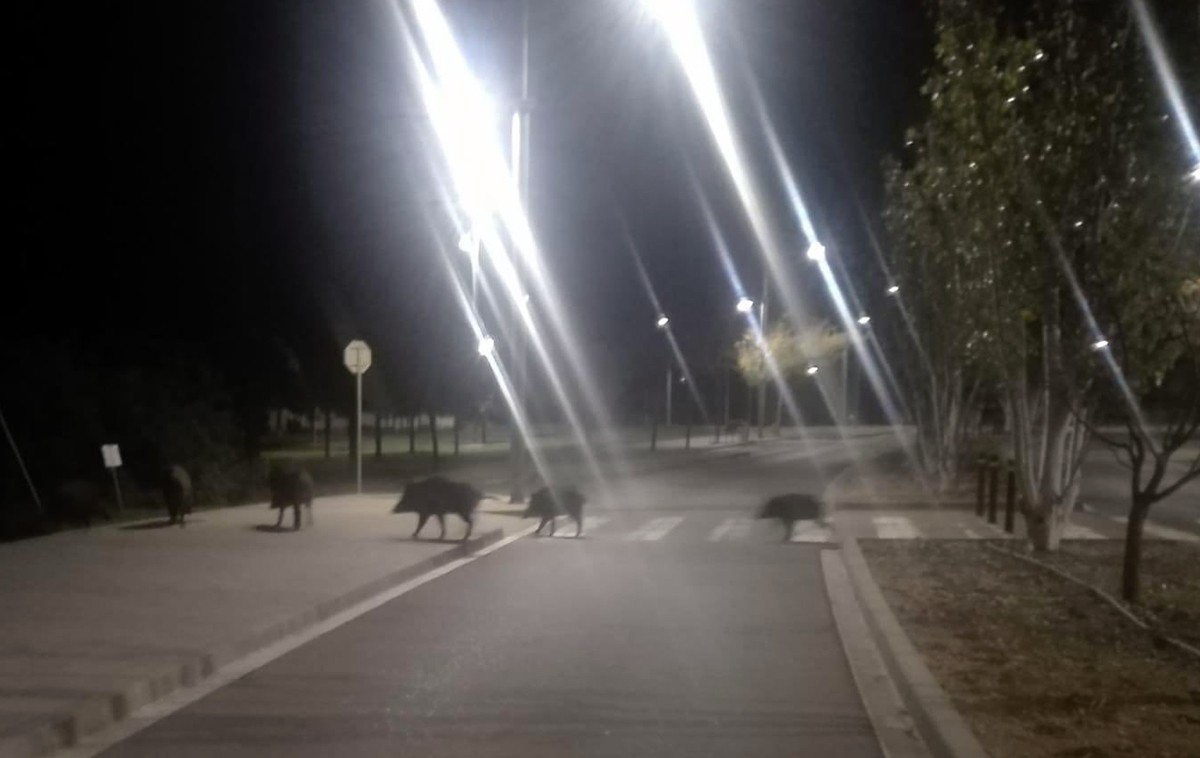 Rabera de senglars travessant un carrer del nucli urbà de la Ràpita
