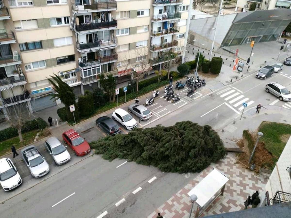 Un arbre caigut a l'avinguda Can Cabanyes