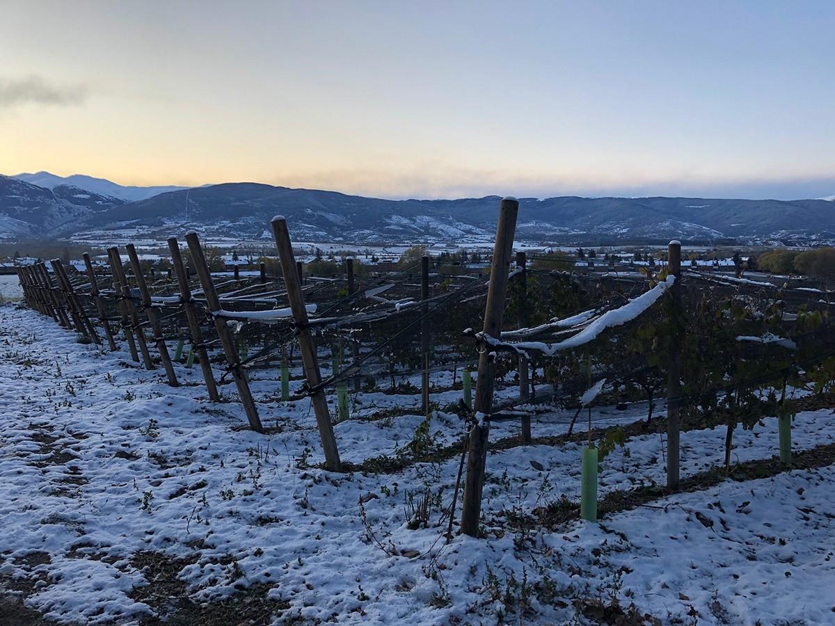 Vinya de sauvignon a Llívia.