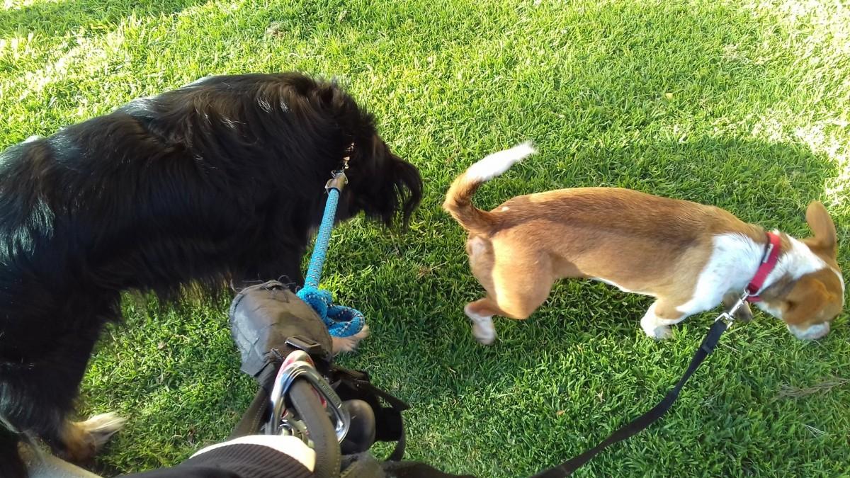 Una voluntària de la xarxa de solidaritat davant el confinament passeja dos gossos dels veïns a Tarragona.