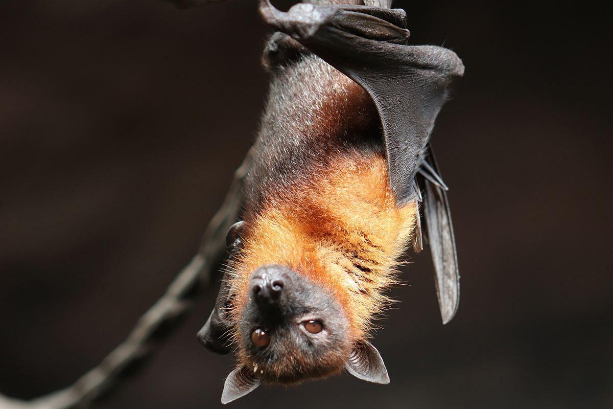 Els ratpenats carreguen més virus que altres mamífers