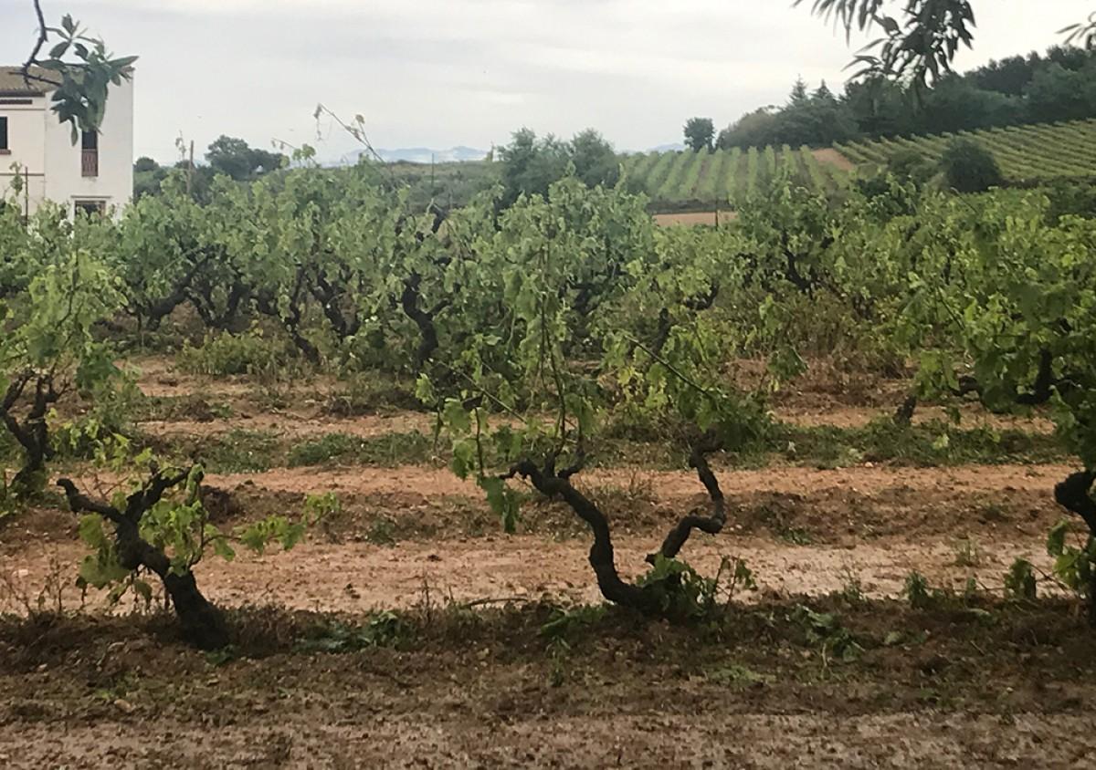 Afectació de vinya després del temporal