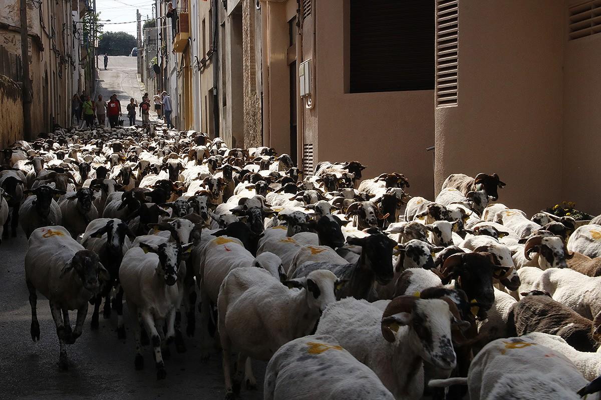 Les ovelles passant pel centre de Prats de Lluçanès