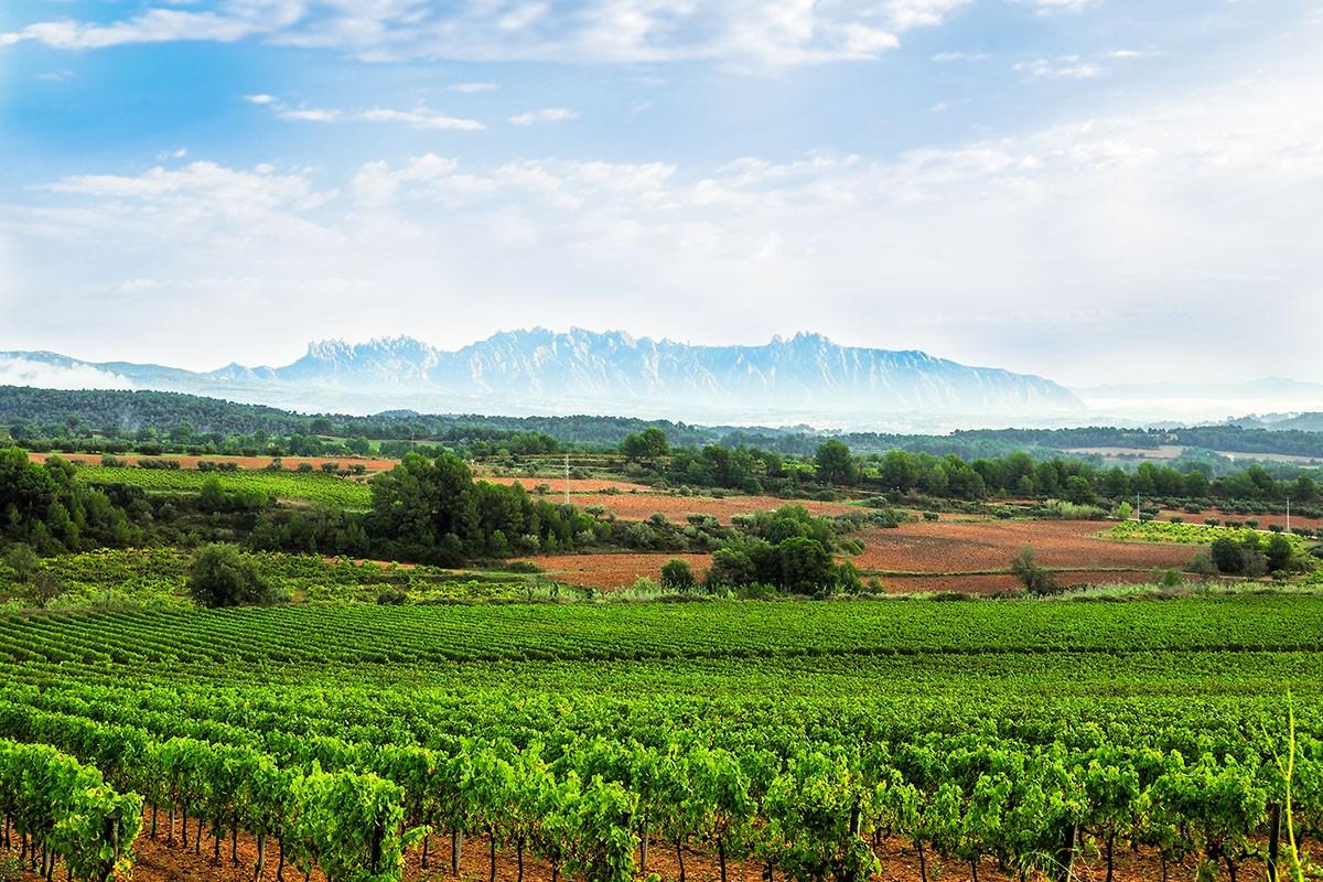 Vinyes del Penedès amb Montserrat de fons