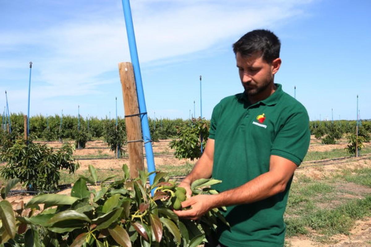 El propietari del molí d'oli Mas Montseny, Roger Català, tocant un alvocat que està madurant a l'arbre al seu camp al Morell