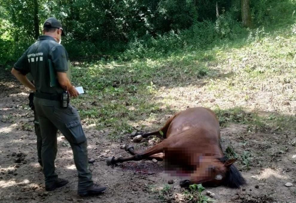 Un agent comprova l'estat del cavall mort d'un tret al coll
