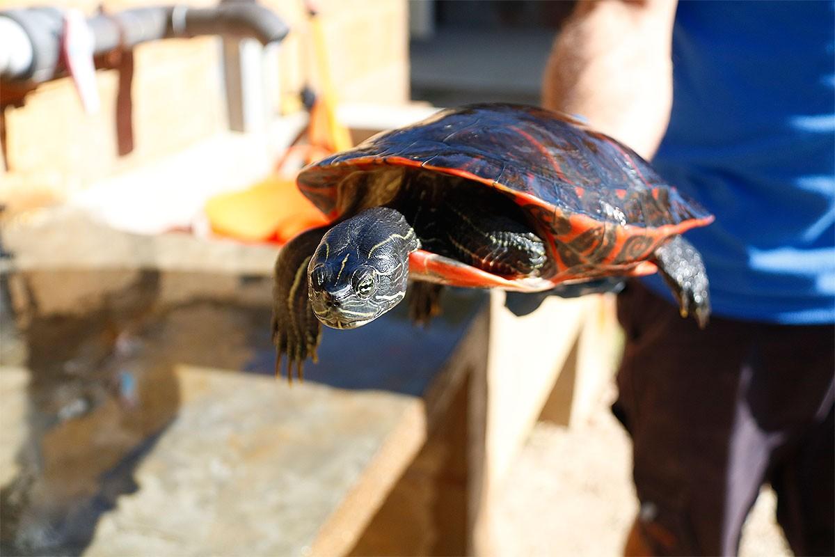 Un dels exemplars de tortuga