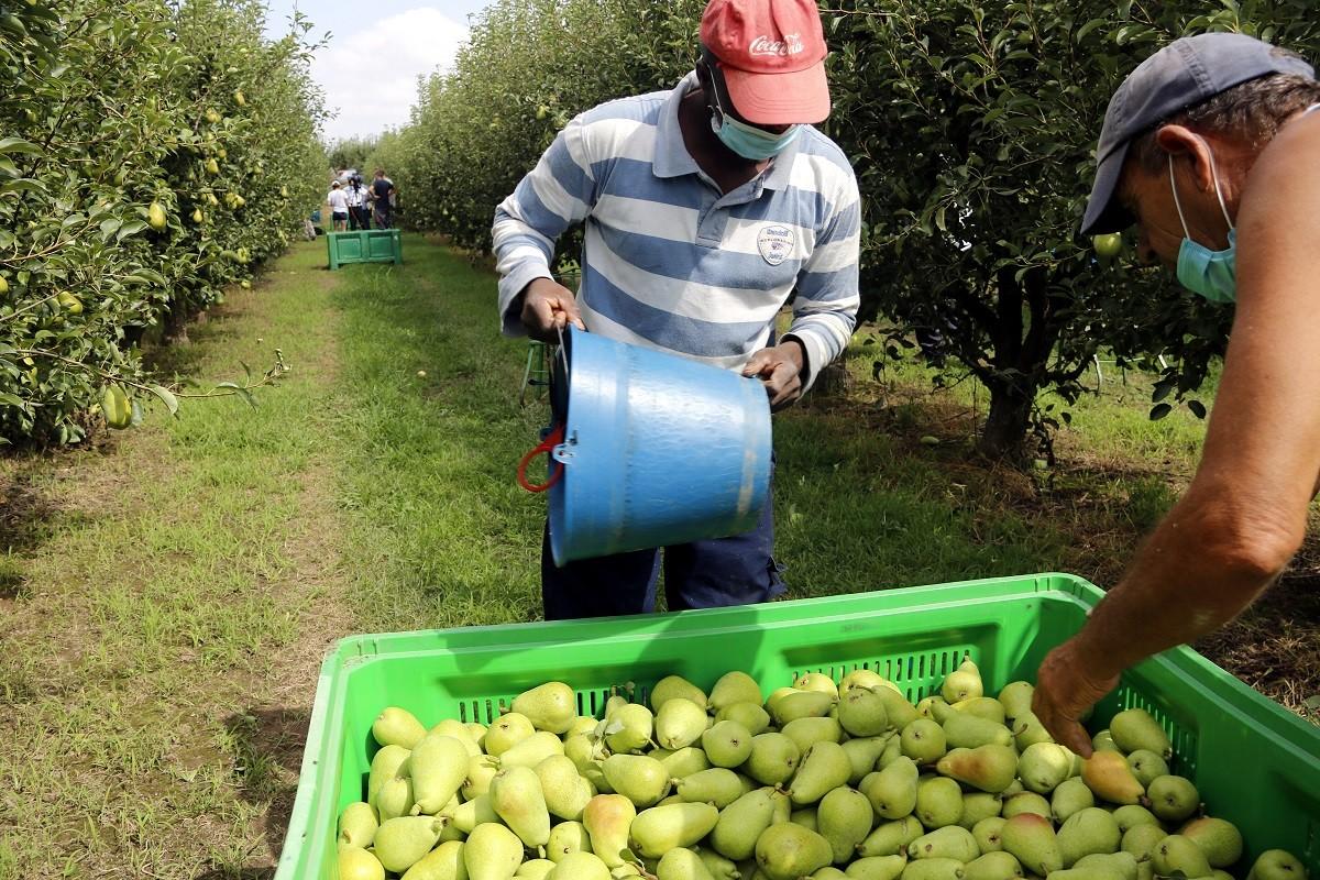 Treballadors recollint fruita a Alcarràs