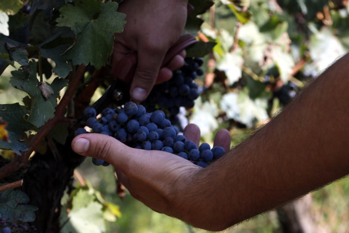 Raïm de les vinyes de les Acàcies
