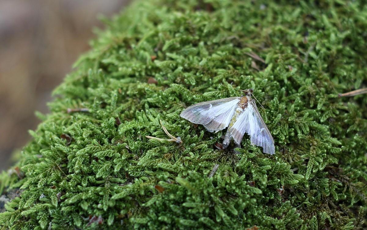 Una papallona del boix al Parc Natural dels Ports