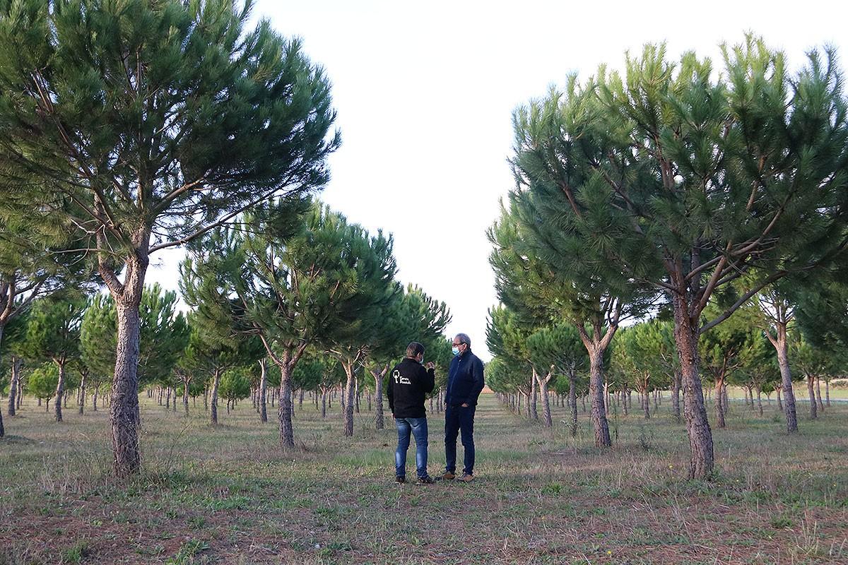 El tècnic del Consorci Forestal Josep Maria Tusell, i el productor d'Arenys d'Empordà, Carles Vaello, als terrenys de pi pinyer