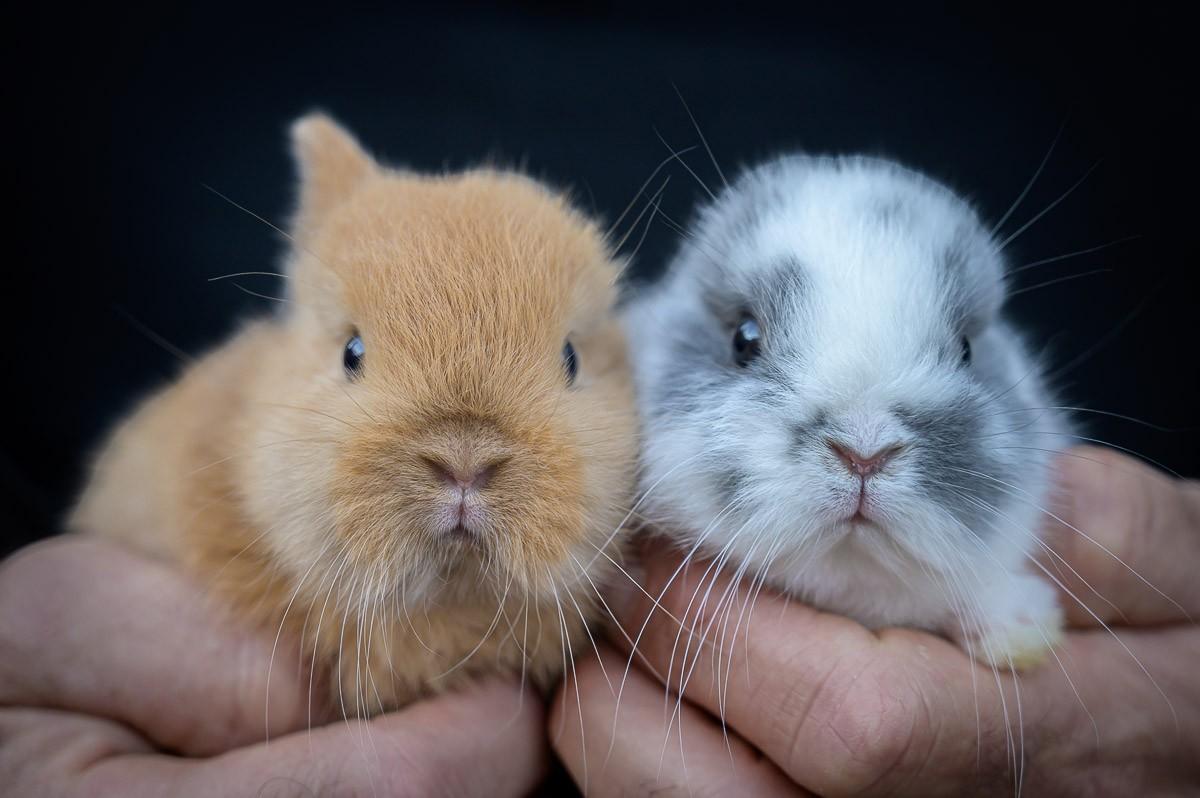 Els conills de MiniOrycs, una empresa d'Osona, han saltat a la fama