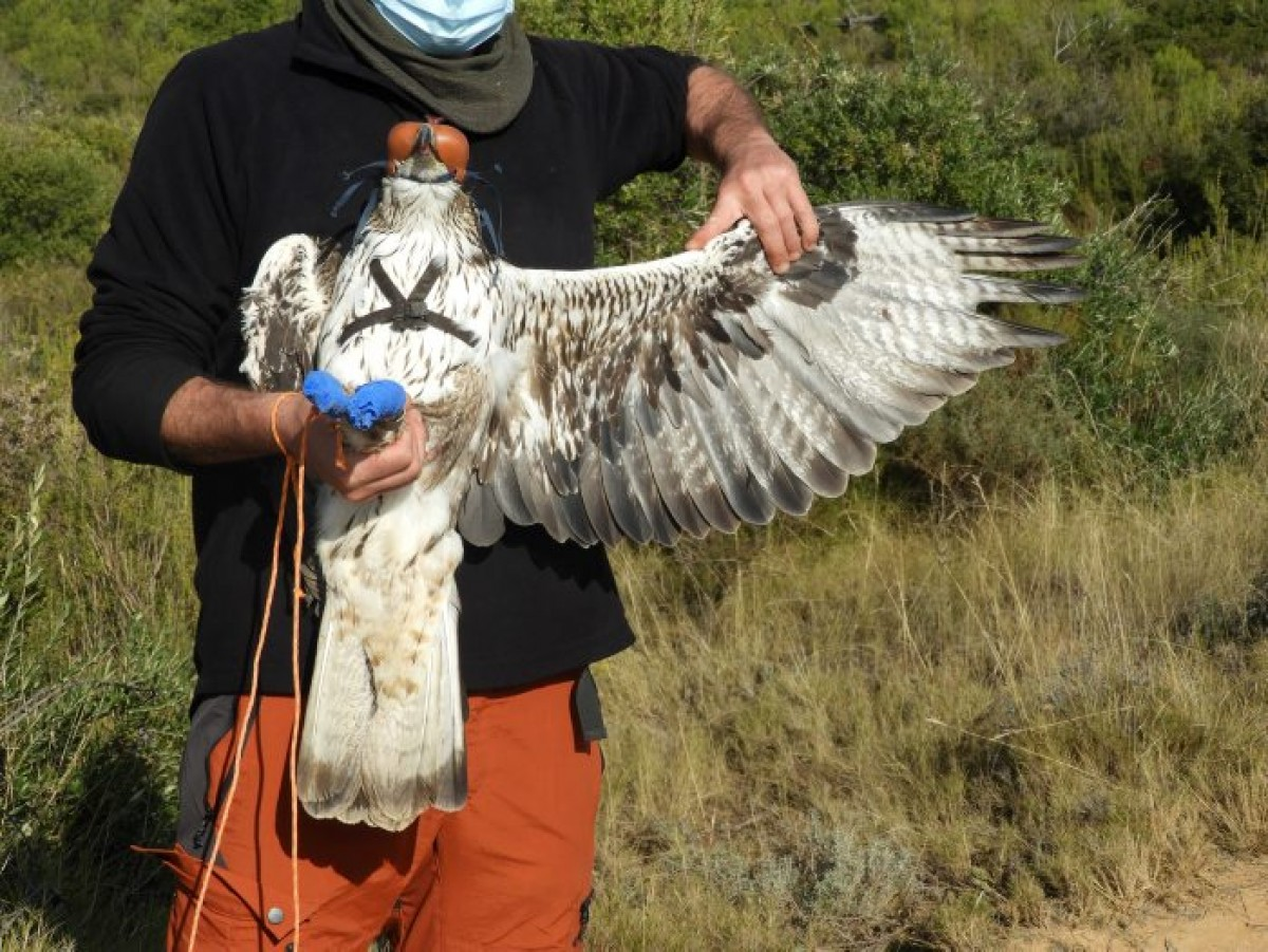 Una àguila cuabarrada.